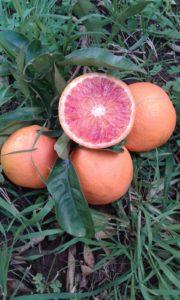 Tarocco, i giardini dell'anapo, azienda agricola biologica
